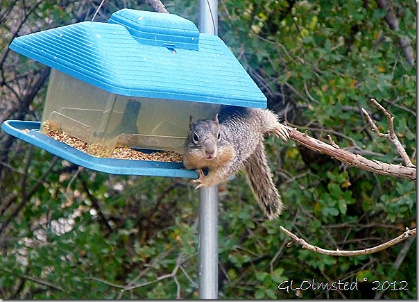 06 Rock squirrel on feeder Yarnell AZ (1024x736)