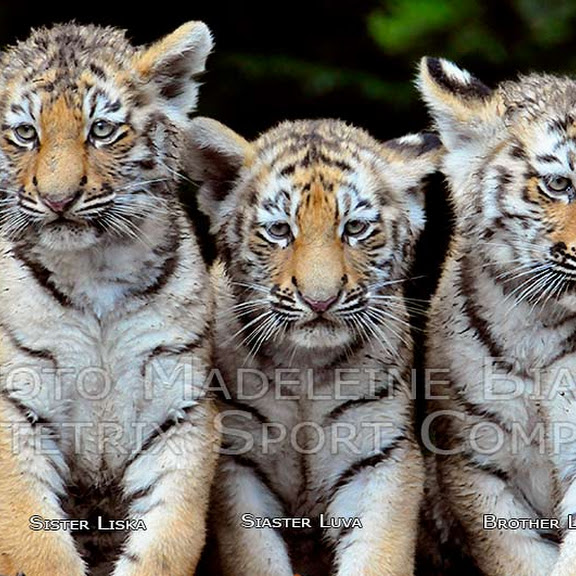 SWEET LITTLE TIGERS