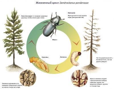 Dendroctonus ponderosae.jpg