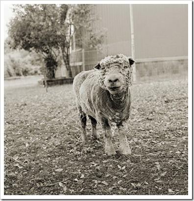 Isa_Leshko_Phyllis_Southdown_Sheep_Age_13
