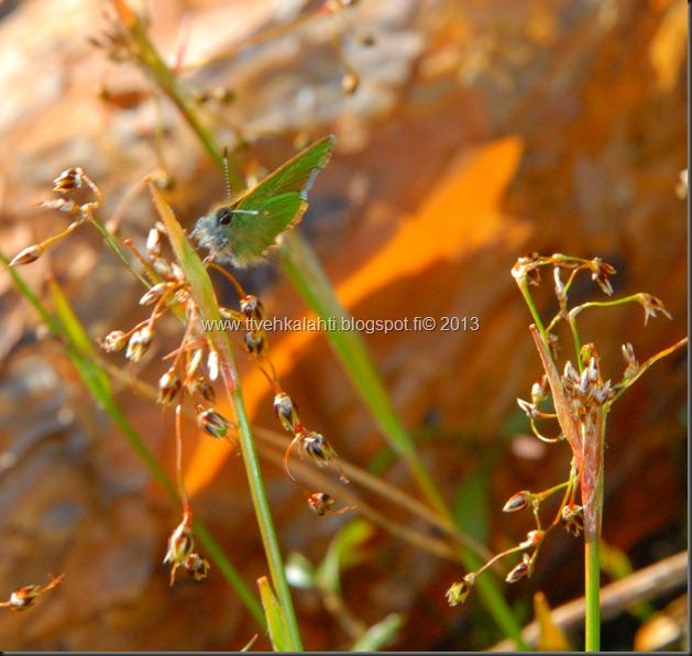 asfaltti työ vt 8 Kangasperhonen (Callophrys rubi) 089