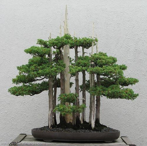 bonsais arvores em miniatura desbaratinando (52)
