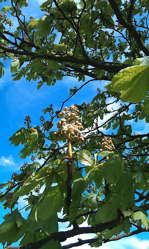 Chestnut Leaves And Flowers