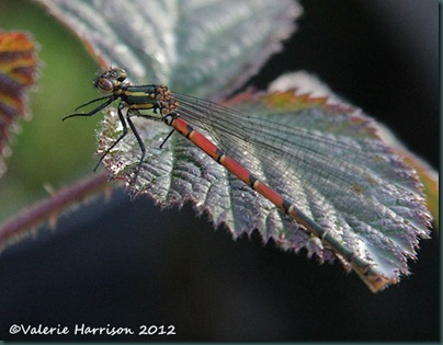 Large-red-damselfly-1