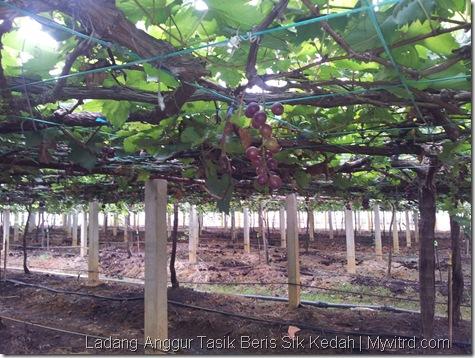Ladang Anggur Tasik Beris 10