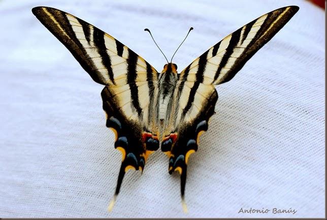 1 lepidoptero DSC_2143X1