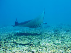 Manta @ Makassar Reef