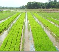 Dapog method  cultivation