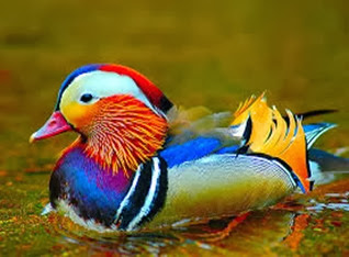 Amazing Pictures of Animals, Photo, Nature, Incredibel, Funny, Zoo, Mandarin Duck, Aix galericulata, Alex (3)