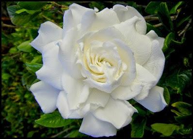 gardenia7