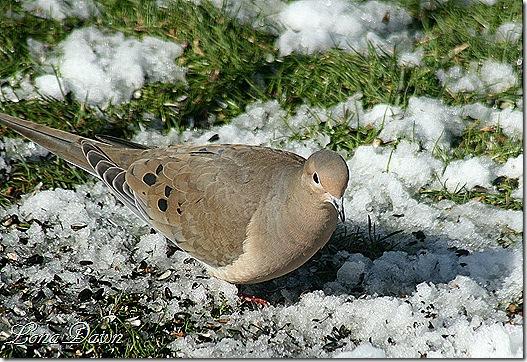 Dove2_Feb
