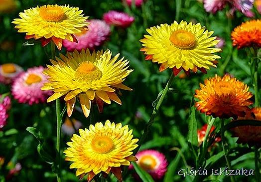 Glória Ishizaka - flor 10
