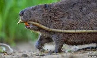 Amazing Pictures of Animals, Photo, Nature, Incredibel, Funny, Zoo, Beaver, Castor, Mammals,  Rodentia, Alex (7)