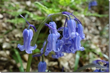 和名:釣鐘水仙 英名:Bluebell<br />蘭名:Blauwe Bos Hyacint