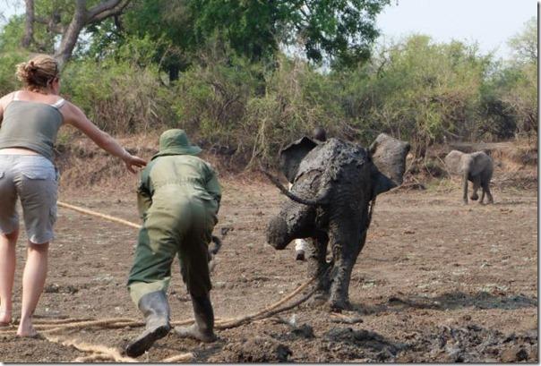 Resgate dramático de um elefante bebê e sua mãe (11)