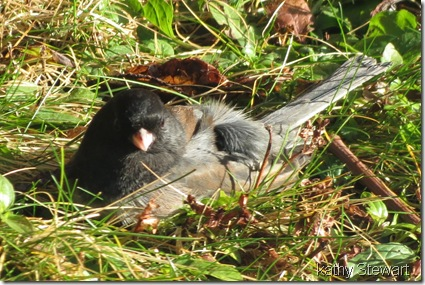Junco sunbathing