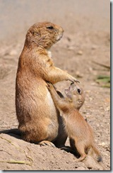Mom and pup prairie dogs_b