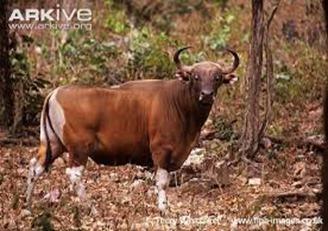 Amazing Pictures of Animals, photo, Nature, exotic, funny, incredibel, Zoo, Bos javanicus, banteng, Alex (2)