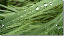 Lemon grass leaf waterproof