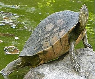 Chelone-turtle
