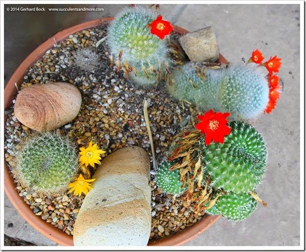 140701_rebutia-bowl_001