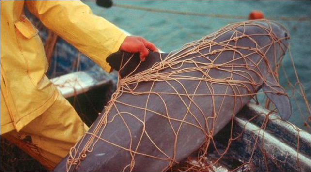 A vaquita trapped in a fisherman's net. Fewer than 100 vaquitas are living today, their population nearly wiped out by poachers sweeping up another rare species and shrimp fishermen casting huge nets. Photo: via savenaturesavehuman.blogspot.com