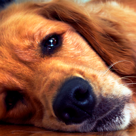 It's Monday...again! by Dave Skorupski - Animals - Dogs Portraits ( depressed, sad, lazy, dog, golden, golden retriever, reteiver,  )