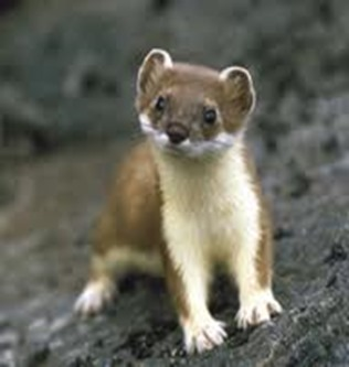 Amazing Pictures of Animals, photo, Nature, exotic, funny, incredibel, Zoo, Stoat, Mustela erminea, Alex (11)