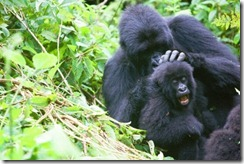 the total population of mountain gorillas in Bwindi Impenetrable National Park to 400. This brings the World's population to 880