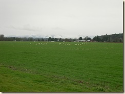 Valley swans