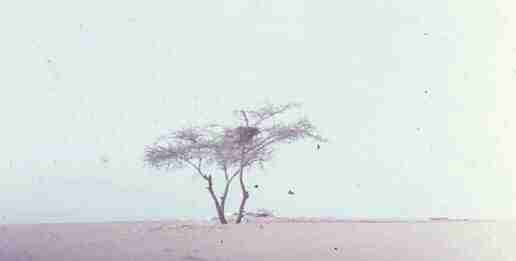 tree-of-tenere-5