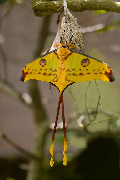 Saturniidae : Argema mittrei GUÉRIN-MENEVILLE, 1846, endémique. Parc de Mantadia-Andasibé (Périnet, 100 km à l'est d'Antananarivo), 2001. Photo : Alexandre