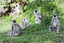 _P6A1668_grey_langur_monkey_mudumalai_bandipur_sanctuary