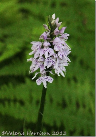 4-spotted-orchid