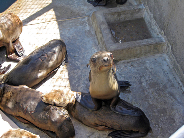 Rescued sea lions housed at SeaWorld in Mission Bay, March 2015. More than 550 marine mammals have been rescued so far in 2015, which is more than double the usual number, said SeaWorld spokesman David Koontz. Photo: Dave Schwab / San Diego Community News Group