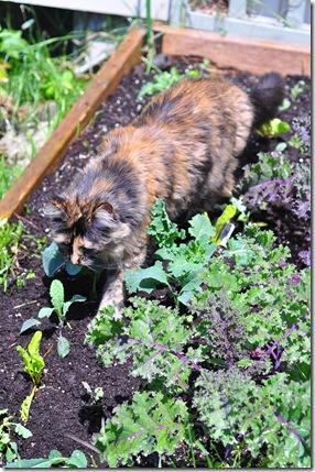 kale cat 3