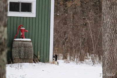 The Border Collie waits