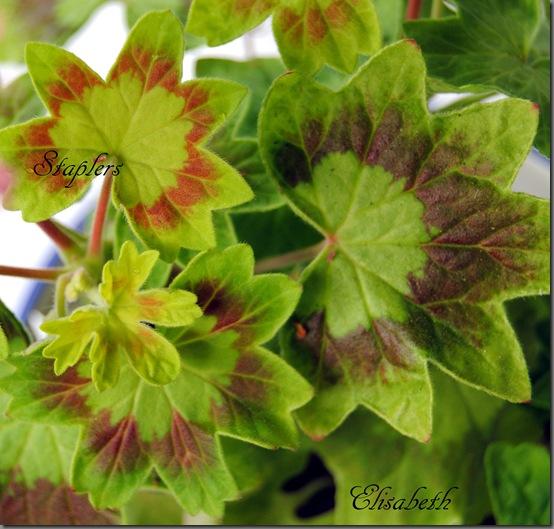 Pelargonium juni-11 075