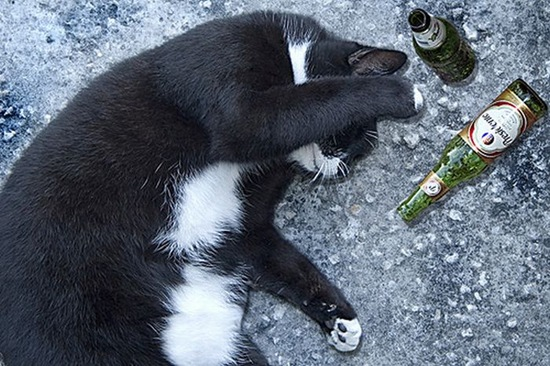 Can-cat-drink-alcohol-04