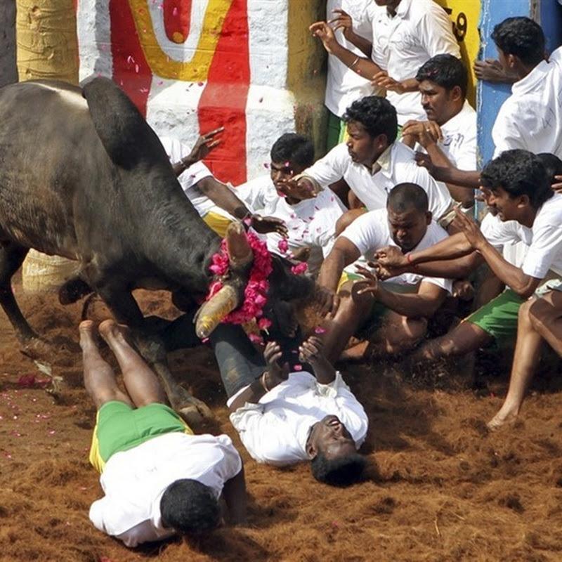 Jallikattu–Bull Taming Sport in India