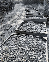 Cider apple harvest, 1980's
