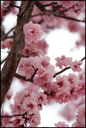 Cherry Blossom_2