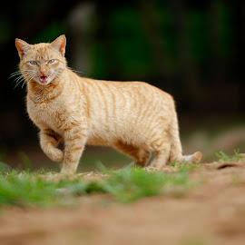 Cat by Ahmed El Hainouni - Animals - Cats Portraits ( rabat, cat, morocco )