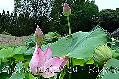 Glória Ishizaka - Flor de Lótus -  Kyoto Botanical Garden 2012 - 8