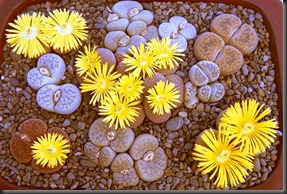 lithops_dish_garden_pic4