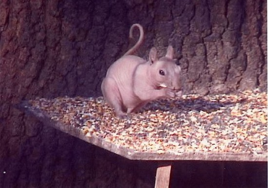 hairless squirrel