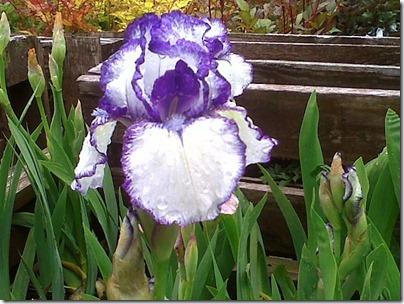 Iris-Bold Print