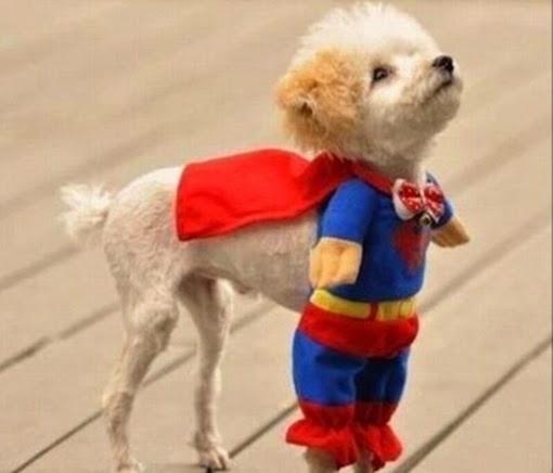 Собака в костюме супермена