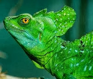 Amazing Pictures of Animals, Photo, Nature, Incredibel, Funny, Zoo, Common basilisk, Basiliscus basiliscus, Reptil, Alex (5)
