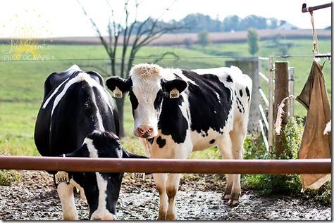 cows-9781